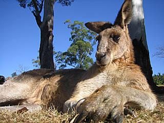 Känguru im Lone Pine Koala Sanctuary. © safaris